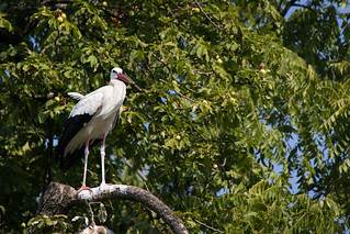 White stork in a tree