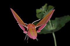 Rolf_Nagel-Fl-0984-Deilephila_elpenor (Insektenflug) Tags: deilephilaelpenor elephanthawkmoth mittlererweinschwärmer dueurtsværmer störresnabelsvärmare deilephila elpenor elephant hawkmoth mittlerer weinschwärmer större snabelsvärmare flight fly schmetterling schwärmer sphingidae insects im flying fliegend airborne fliegen flug inflight nachtfalter insectflight insectinflight insekt insekten insektenflug lepidoptera butterfly schweden sverige sweden öland insel island ostsee balticsea baltic fauna wildlife insect imflug minoltaerokkor75mm erokkor minolta rokkor 75mm envole en vole