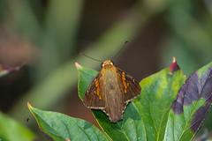 SilverSpottedSkipper (jmishefske) Tags: 2018 d850 spotted boerner halescorners whitnall insect wisconsin butterfly milwaukee bug august gardens park silver nikon botanical skipper