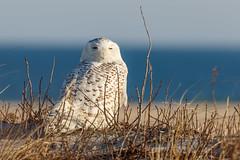 Snowy Owl (drbradkent) Tags: snowy owl beach assateague sand white bird