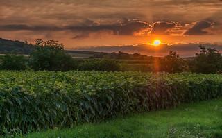 Sonnenaufgang, mit verwelkten Sonnenblumen.