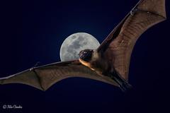 Bat Moon! (chandra.nitin) Tags: animal bif bat deerpark flying greaterindianfruitbat indianflyingfox nature pteropodidae pteropusgiganteus newdelhi delhi india