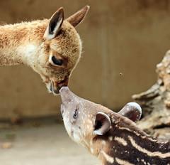 South american tapir and Vicuna Artis JN6A0871 (j.a.kok) Tags: vicuna tapir zuidamerika zuidamerikaansetapir southamerica southamericantapir animal artis zoogdier dier mammal baby babytapir