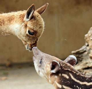 South american tapir and Vicuna Artis JN6A0871