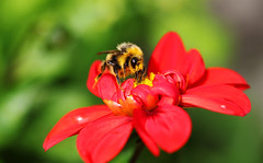 Bee on Dahlia. (Chris Kilpatrick) Tags: chris canon canon7dmk2 outdoor wildlife nature bee garden douglas isleofman insect animal dahlia flower plant red august pollen