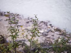 jasper 2017 012 (adamlucienroy) Tags: jasper jaspernationalpark nationalpark forest gh4 panasonic telephoto leica primelens prime 25mm f14 alberta edmonton yeg yegdt canada