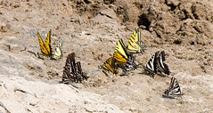 Butterfies on the Beach (maytag97) Tags: maytag97 nikon d750 tamron 150600 150 600 sand beach outdoor outside sunny sunshine butterflies nature natural wing wings insect beautiful black background colorful wet wildlife color pattern summer closeup yellow pretty bright outdoors group butterfly stripes habitat moisture animal macro