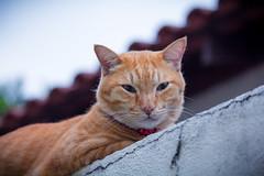 """GUD MORNING, HOOMAN!"" (stratman² (2 many pix!)) Tags: canonphotography eos60d efs55250mmf456isstm iso800 littlejoey orangecat kucing neko katzen gato cc100"