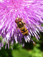 Hover Fly, Monks Brook Green, Southampton (archive2_) Tags: best archive2 monks brook monksbrook favourite 52 100 flora wildlife insect insects