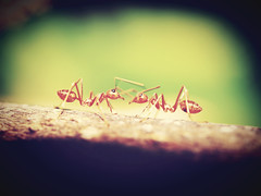Red Ant Stock Photos (www.icon0.com) Tags: red ant closeup tree photo bark green view horizontal leaf aphid creature carry walking orange explore top one macro leg sting damage up bug color close plant insect extreme waist background work nature detail food journey big animal wildlife jungle hot