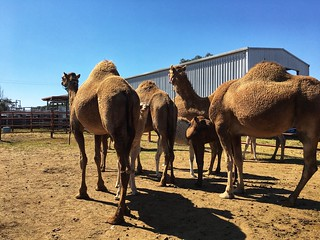 At the Summerland Camel Farm in Harrisville, Qld