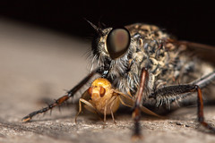DSF_20817.jpg (christopher_west) Tags: macro 105mmf28 tc14e robberfly fruitfly
