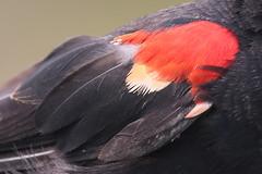 Red-winged Blackbird (Terrance Carr) Tags: dncb tfn 20180813 reifel 2018 august terry carr terrycarr