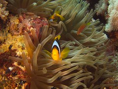 P1-009243 (charlesvanlangeveld) Tags: redseaanemonefish twobandedanemonefish redsea marsaalam portghalib egypt underwater clownfish scubadiving scuba diving portraits fish indopacific