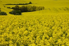 Spirit of Moravia (*Vasek*) Tags: yellow fields czech moravia morava europe nikon d7100 nature rapeseed řepka
