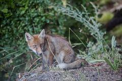 Fox (manuela albanese) Tags: manuela albanese phots fox animali volpe herin valle daosta vacanza incontri