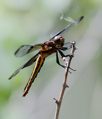 Widow Skimmer Dragonfly -- Female (Libellula luctuosa); Albuquerque, NM, Tingley Beach Park [Lou Feltz] (deserttoad) Tags: insect animal dragonfly skimmer fauna park pond behavior odonate newmexico
