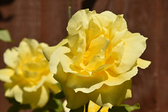 Yellow Rose #Rose #YellowRose #Flower (Manoo Mistry) Tags: rose yellowrose flowers garden park bagicha nikon nikond5500 tamron tamron18270mmzoomlens macro closeup yellowflower fragrance