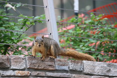 Squirrels in Ann Arbor at the University of Michigan (August 17th, 2018) (cseeman) Tags: gobluesquirrels squirrels annarbor michigan animal campus universityofmichigan umsquirrels08172018 summer eating peanut augustumsquirrel foxsquirrels easternfoxsquirrels michiganfoxsquirrels universityofmichiganfoxsquirrels