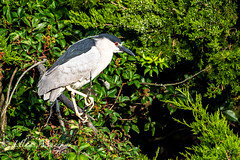 Black-Crowned Night Heron (mayekarulhas) Tags: oceancity newjersey unitedstates us black crowned night heron bird avian wildlife canon canon500mm canon1dxmark2