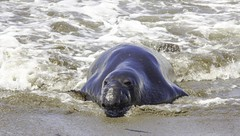 Elephant Seal (Blazing Star 78613) Tags: piedrasblancascalifornia piedrasblancas california seal hwy1 elephant elephantseal northernelephantseal californiahwy1 californiacoast