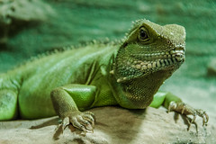 Green water dragon (Physignathus cocincinus), Biosphäre Potsdam (Daniel Poon 2012) Tags: potsdam brandenburg germany de musictomyeyes artistoftheyear amazingphoto 123 blinkagain blinkstomyeyes flickr nikonflickraward simplysuperb simplicity storytelling nationalgeographic ngc opticalexcellence beauty beautifullight beautifulcapture level2autofocus landscape waterscape bydanielpoon danielpoonca worldtravel superphotosgroup theamusingphotogroup powerofnikon aplaceforgreatphotographers natureimage focusandclick travelaroundthe world worldmasterpiece waterwatereverywhere worldphotography yourbestphotography mybestphotography worldwidewandering travellersworld orientalland nikond500photography photooftheyear nikonshooters landscapeoftheworld waterscapeoftheworld cityscapeoftheworld groupforallusersofnikon chinesephotographers