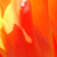 A Most Suitable Orangement? (antonychammond) Tags: abstract abstraction red orange tulip contactgroups thegalaxy expression