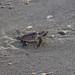 Loggerhead turtle heading to Ocean