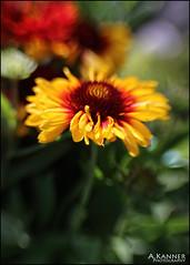 Yellow... (angelakanner) Tags: canon70d composerpro lensbabysweet35 8mm macro converter yellow garden longisland flower