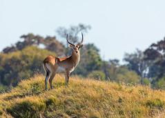 Red Lechwe (mclcbooks) Tags: redlechwe antelope wildlife animal safari botswana africa okavangodelta moremicrossing