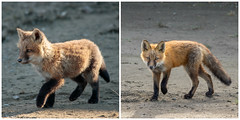 What a Difference (Dan King Alaskan Photography) Tags: redfox fox vulpesvulpes kit northslope alaska canon80d sigma150600mm