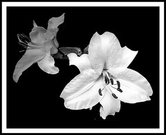 Lily (Timothy Valentine) Tags: 2018 blackandwhite 0718 flower datesyearss home eastbridgewater massachusetts usa