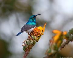 White-bellied Sunbird (m) (leendert3) Tags: leonmolenaar southafrica krugernationalpark wildlife nature birds whitebelliedsunbird ngc npc