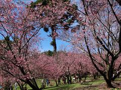 Sakura (Cerejeiras em flor) (Arlete M) Tags: cherrytrees sakura cerejeirasemflor winter inverno brasil brazil camposdojordãosp