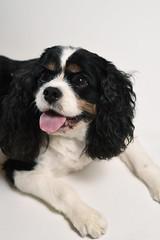 Harry (FoolontheFilm) Tags: dog dogs cute puppy studio photography nikon d750 85mm portrait