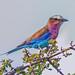 Lilac-Breasted Roller, Maasai Mara