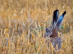 Lepus europaeus (Vulpe Photographie) Tags: animal lièvre lepus hare champ nature wildlife wildlifephoto wildlifephotography france normandie normandy eure coolpix p900 nikon