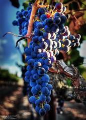 Poseidon Vineyards (sbadude1) Tags: grapes wine hdr vineyard california napa nikon d5100 tokina wideangle