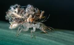 Junk Bug -/+3mm (JWB Creative Life) Tags: junk bug lace wing larvae nature insect predator hunter