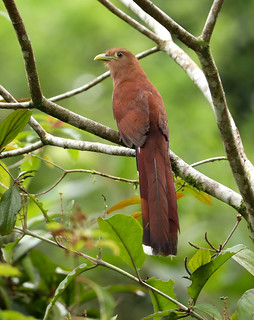 Squirrel Cuckoo --- Piaya cayana