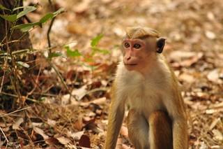 A Toque Macaque