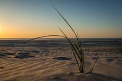 Dune grass / Langeoog (Pascal Riemann) Tags: natur deutschland langeoog pflanze nordsee dünengras germany nature dunegrass northsea plant niedersachsen de