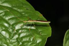 Stenocoris apicalis (Broad-headed Bug) - Bigodi, Uganda (Nick Dean1) Tags: animalia arthropoda arthropod hexapoda hexapod insect insecta bigodiwetlands uganda kibalenationalpark kibale