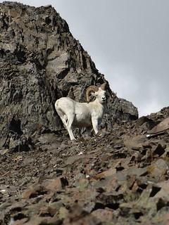 Alaska Dall Sheep Hunt & Moose Hunt 41