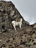 Alaska Dall Sheep Hunt & Moose Hunt 41