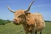 highlander (SCRIBE photography) Tags: uk england hampshire dorset newforest livestock cow cattle highland longhorn horn horns animal summer hairy