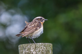 Whinchat.....