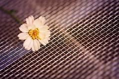 Little flower on steel (JossieK) Tags: macromondays mesh wire stainlesssteel steel metal flower macro
