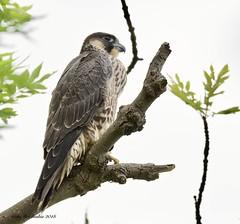 Peregrine Falcon (Alan McCluskie) Tags: peregrine falcon peregrinefalcon raptor birdofprey birds aves oiseaux nature wildlife canon7dmk2 sigma150600mmsp