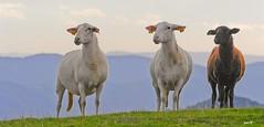 P1200260b (Denis-07) Tags: brebis mouton